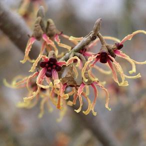 Autres espèces et cultivars Hamamelis japonica