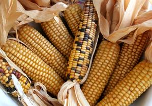 Culture et entretien du maïs doux