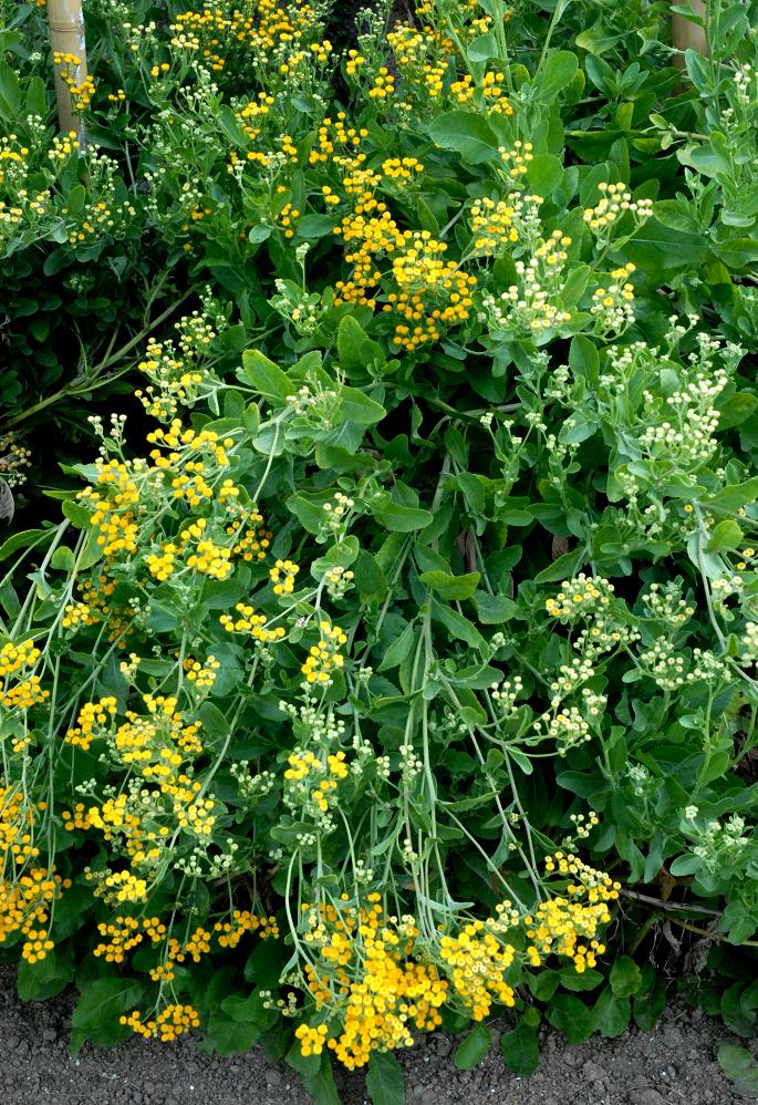 Tanaisie planter et cultiver ooreka for Plante decorative jardin