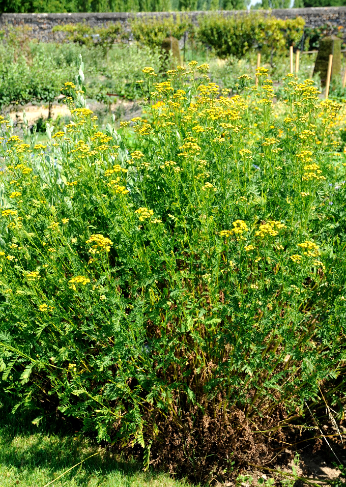 tanaisie planter et cultiver � ooreka