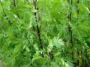 Semis et plantation de la tanaisie