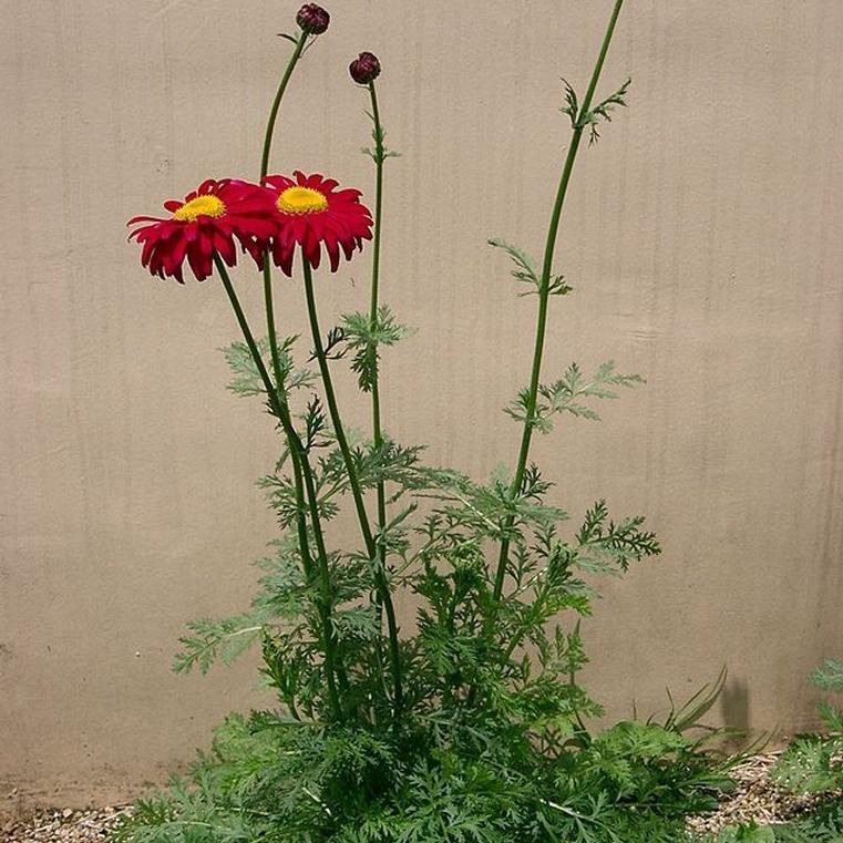 Autres espèces de Tanacetum Pyrèthre rouge (Tanacetum coccineum)