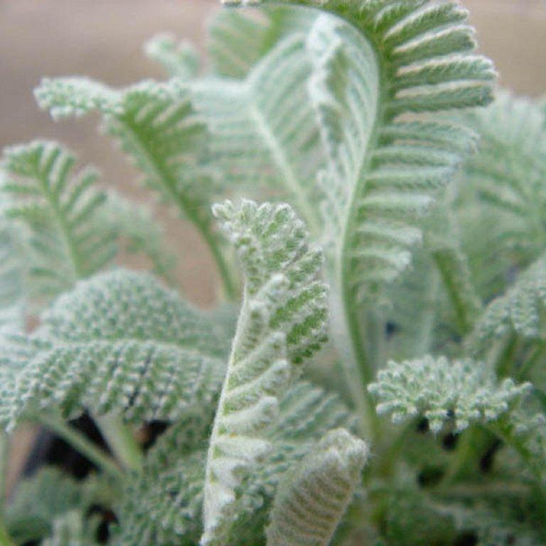 Autres espèces de Tanacetum Tanaisie de Syrie (Tanacetum haradjanii)