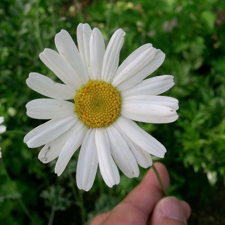 Autres espèces de Tanacetum Pyrèthre de Dalmatie ou tanaisie à feuille de cinéraire (Tanacetum cinerariifolium)