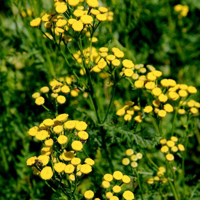 Tanaisie commune (Tanacetum vulgare) Espèce type