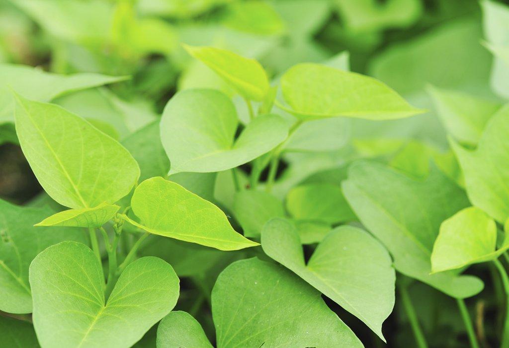 patate douce planter et cultiver � ooreka