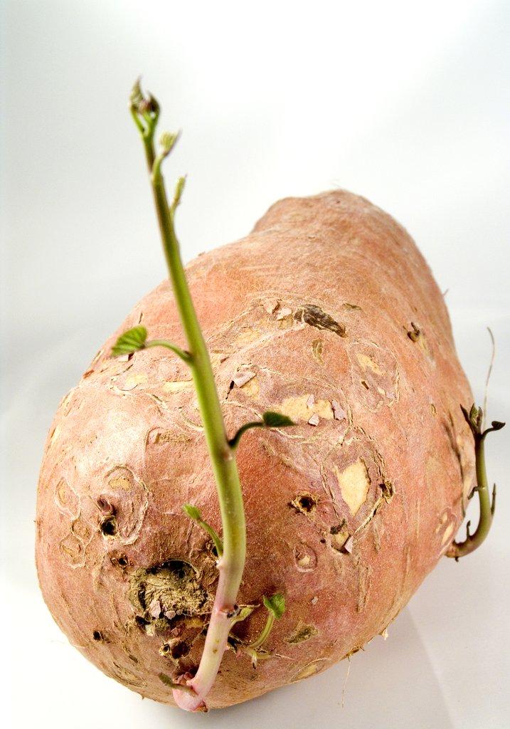 Patate douce planter et cultiver ooreka - Comment conserver des carottes du jardin ...