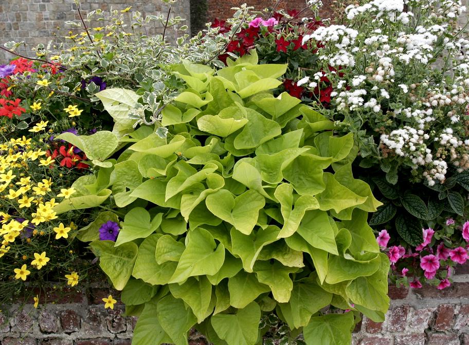 Patate douce planter et cultiver ooreka - Planter pomme de terre en pot ...