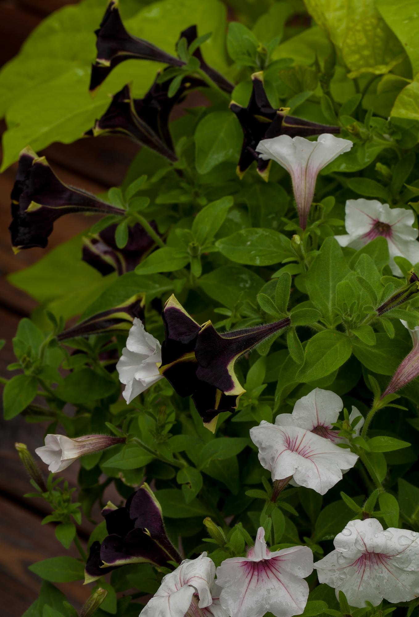 patate douce   planter et cultiver  u2013 ooreka
