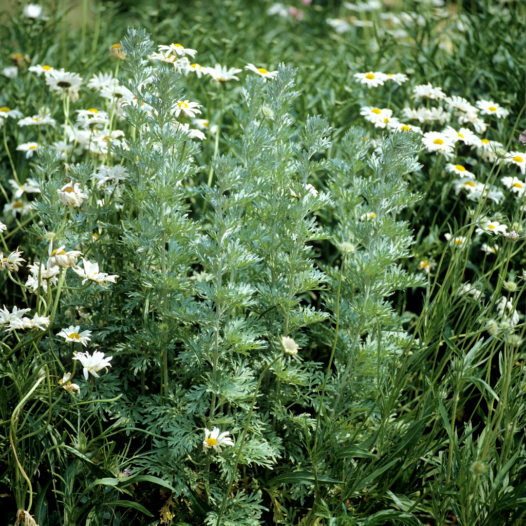 Absinthe Planter Et Cultiver Ooreka