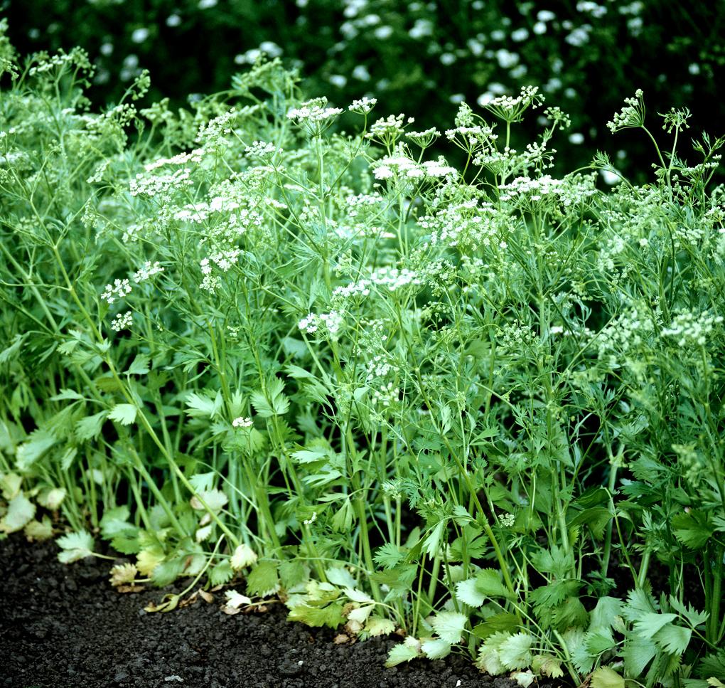 Anis vert planter et cultiver ooreka for Vert anis beauraing