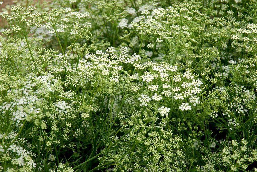Anis vert planter et cultiver ooreka for Plante 4 images 1 mot