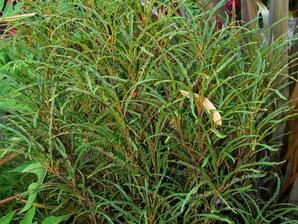 Semis et plantation de la bourdaine