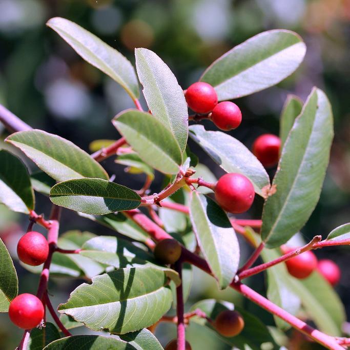 Espèce type Bourdaine (Rhamnus frangula)