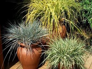 Semis et plantation du carex