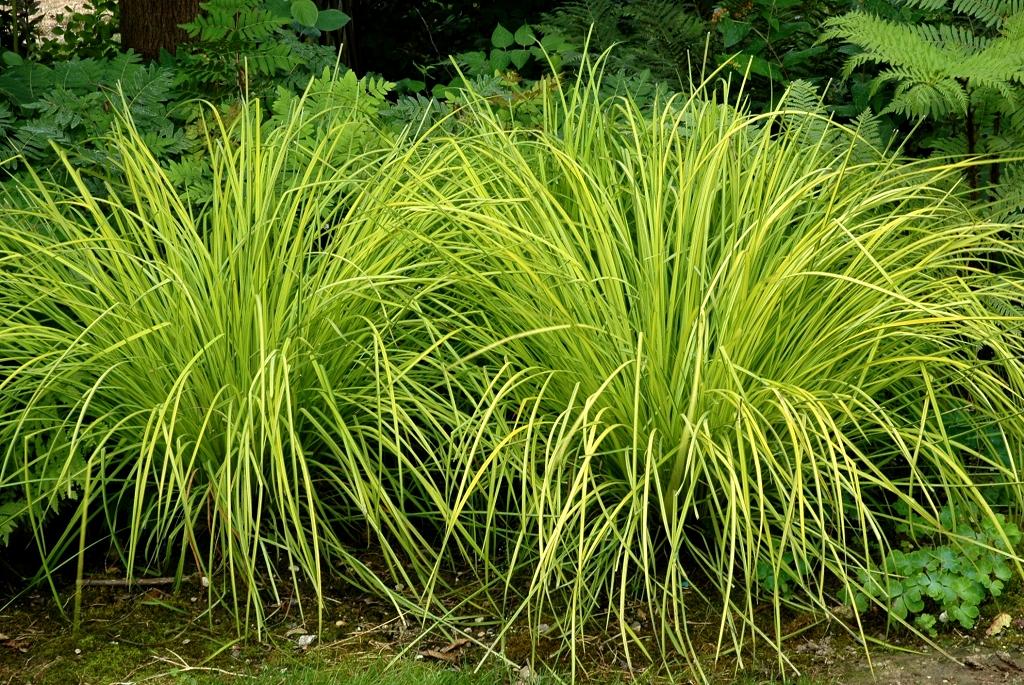 Carex Planter Et Entretenir Ooreka