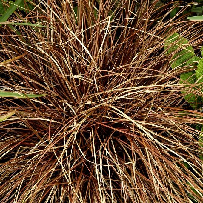 Zones fraiches Laîche flagellée (Carex flagellifera)