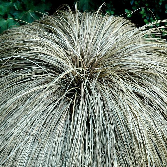 Peu rustiques Carex comans 'Bronze Form'