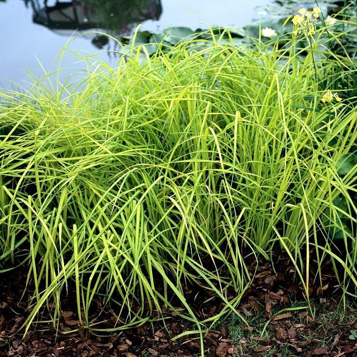 Zones très humides Laîche des rives (Carex riparia)