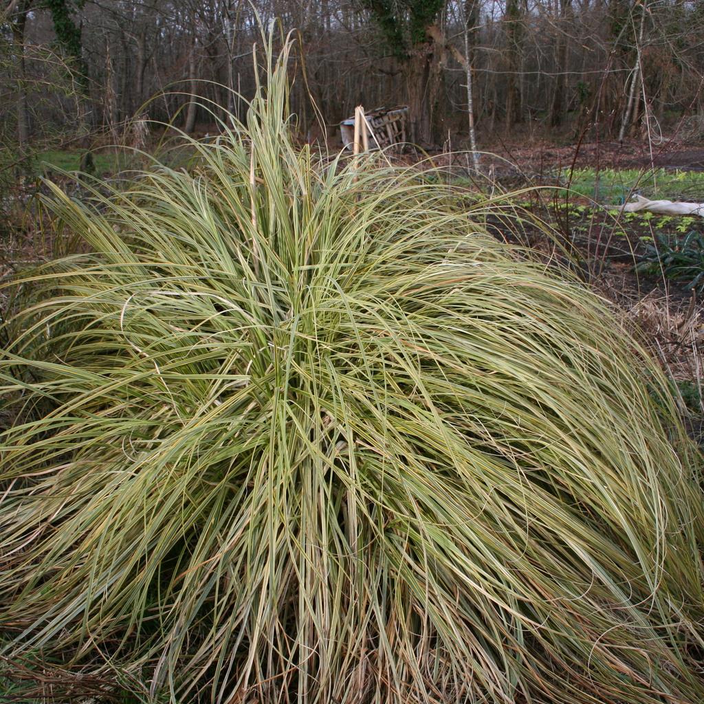 Zones très humides Carex dolichostachya 'Kaga Nishiki'