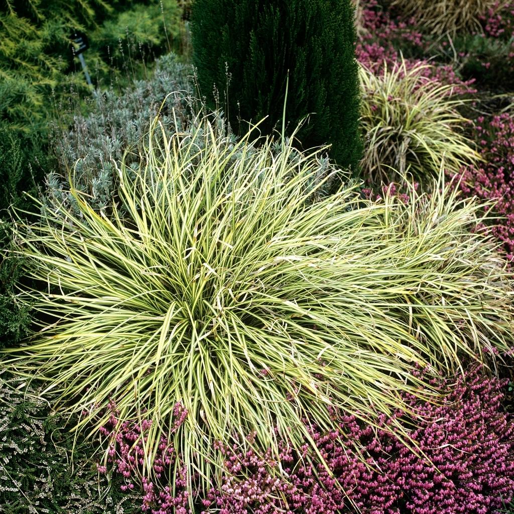 Peu rustiques Carex morrowii 'Goldband'