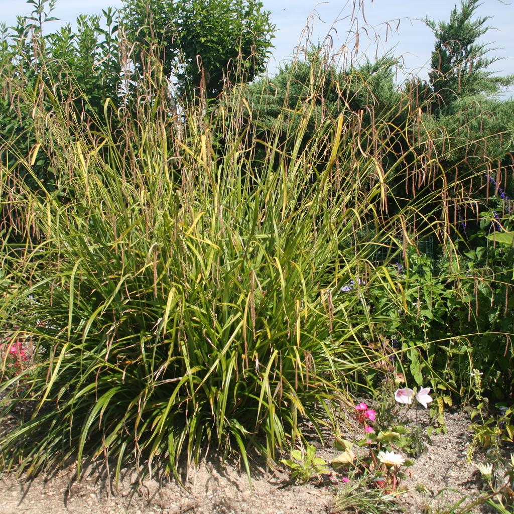 Zones fraiches Laîche pendante (Carex pendula)