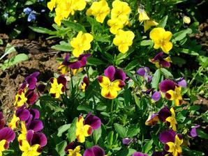 Multiplication de la violette