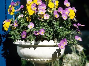 Culture et entretien de la violette