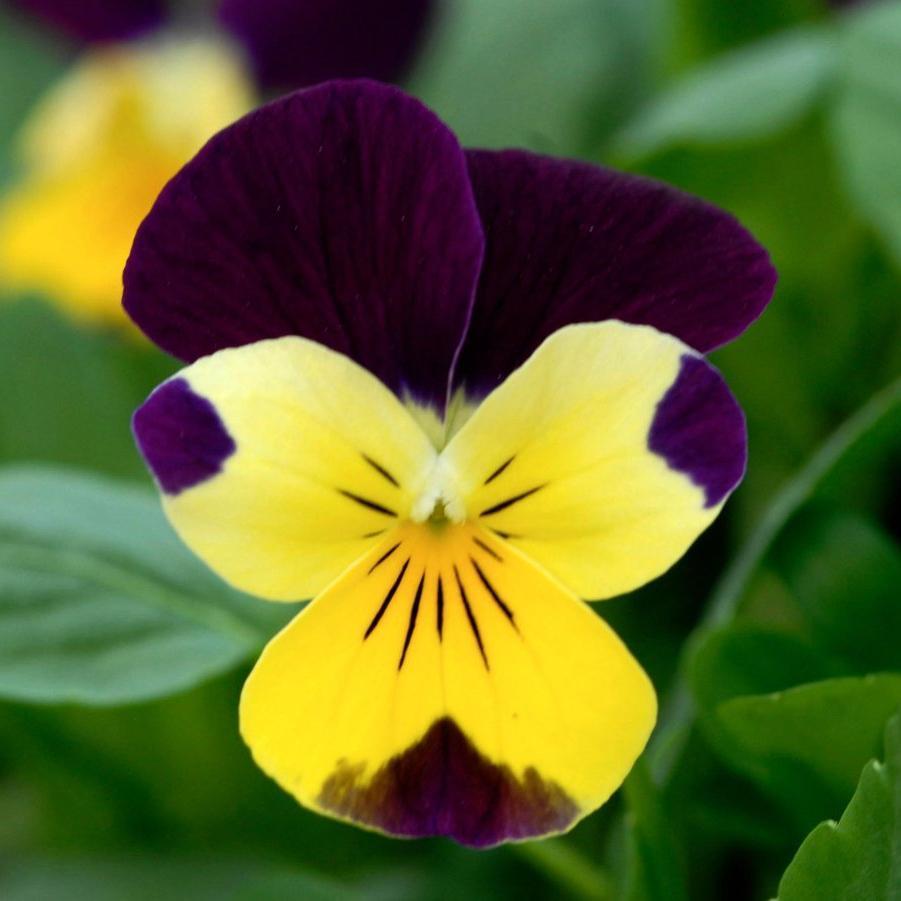 Violette cornue (Viola cornuta) --