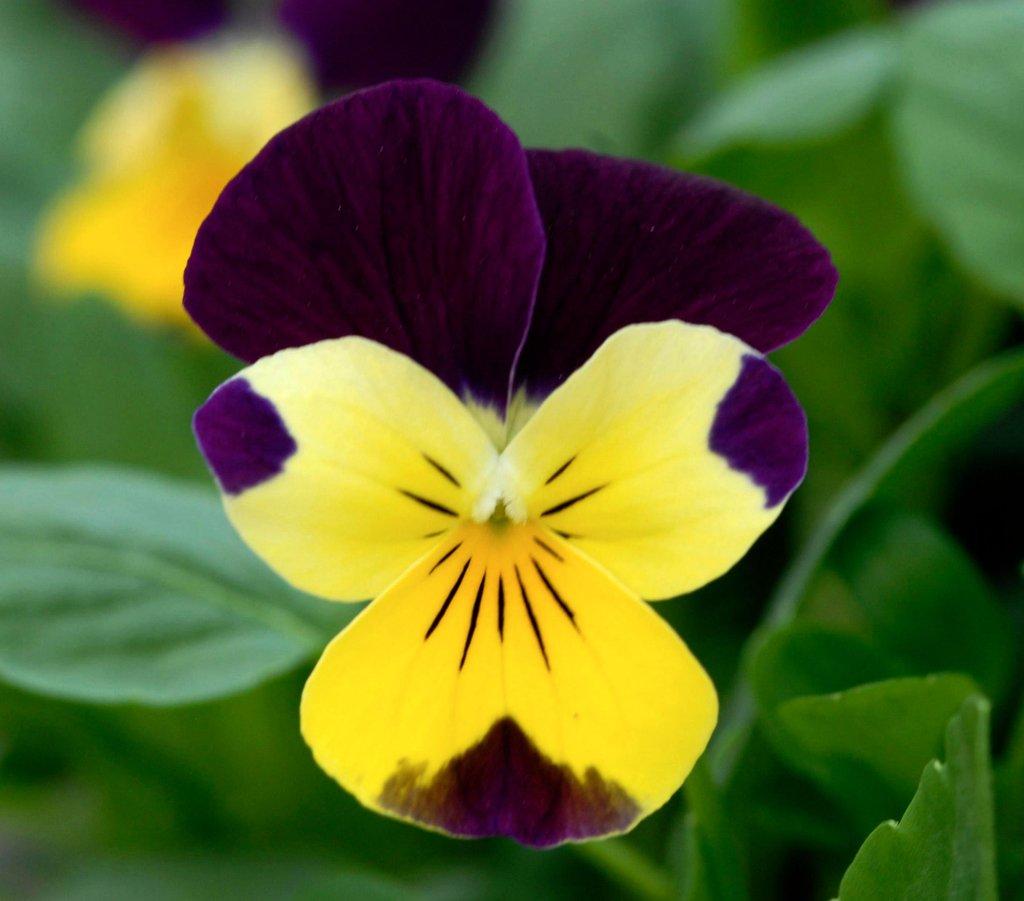 Violette : planter et cultiver - Ooreka