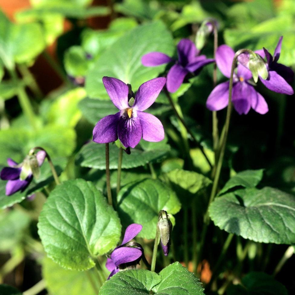 Violette à parfum ou odorante (Viola odorata) 'Reine Charlotte'