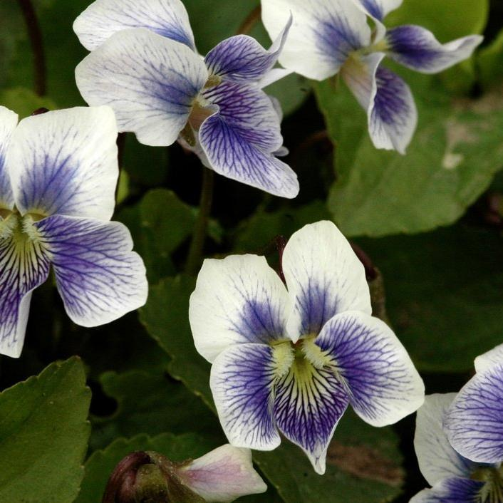 Violette de la Pentecôte (Viola sororia) --