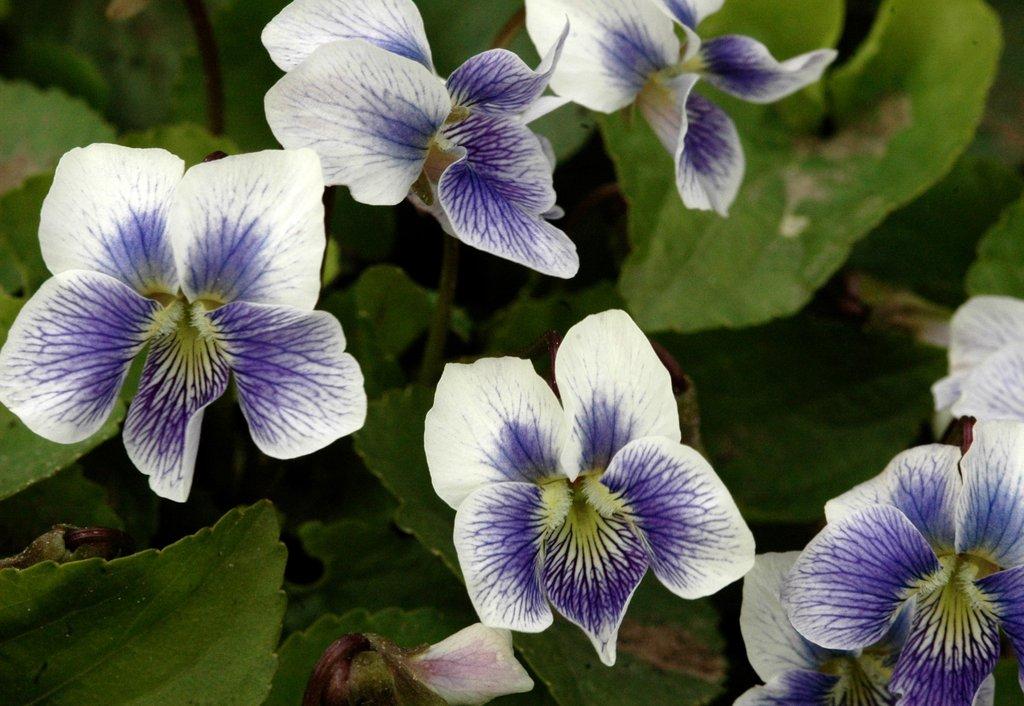 violette   planter et cultiver  u2013 ooreka