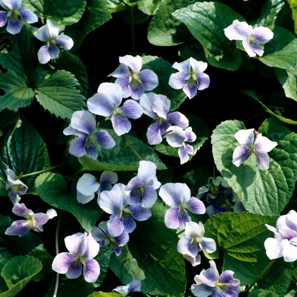 Violette à parfum ou odorante (Viola odorata) --
