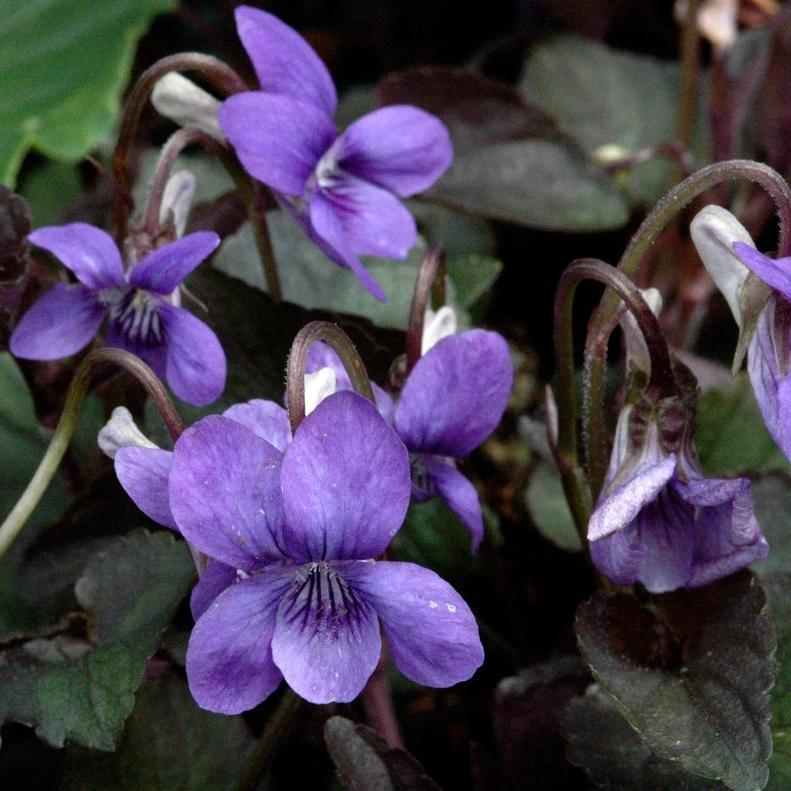 Violette du Labrador (Viola labradorica) --