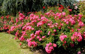 Plantation du rosier paysager