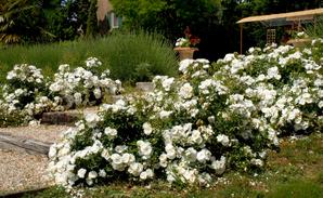 Culture et entretien du rosier paysager