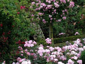 Multiplication des rosiers couvre-sol