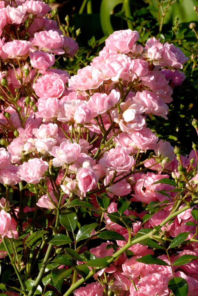Rosiers paysager planter et cultiver ooreka - Taille des rosiers apres floraison ...