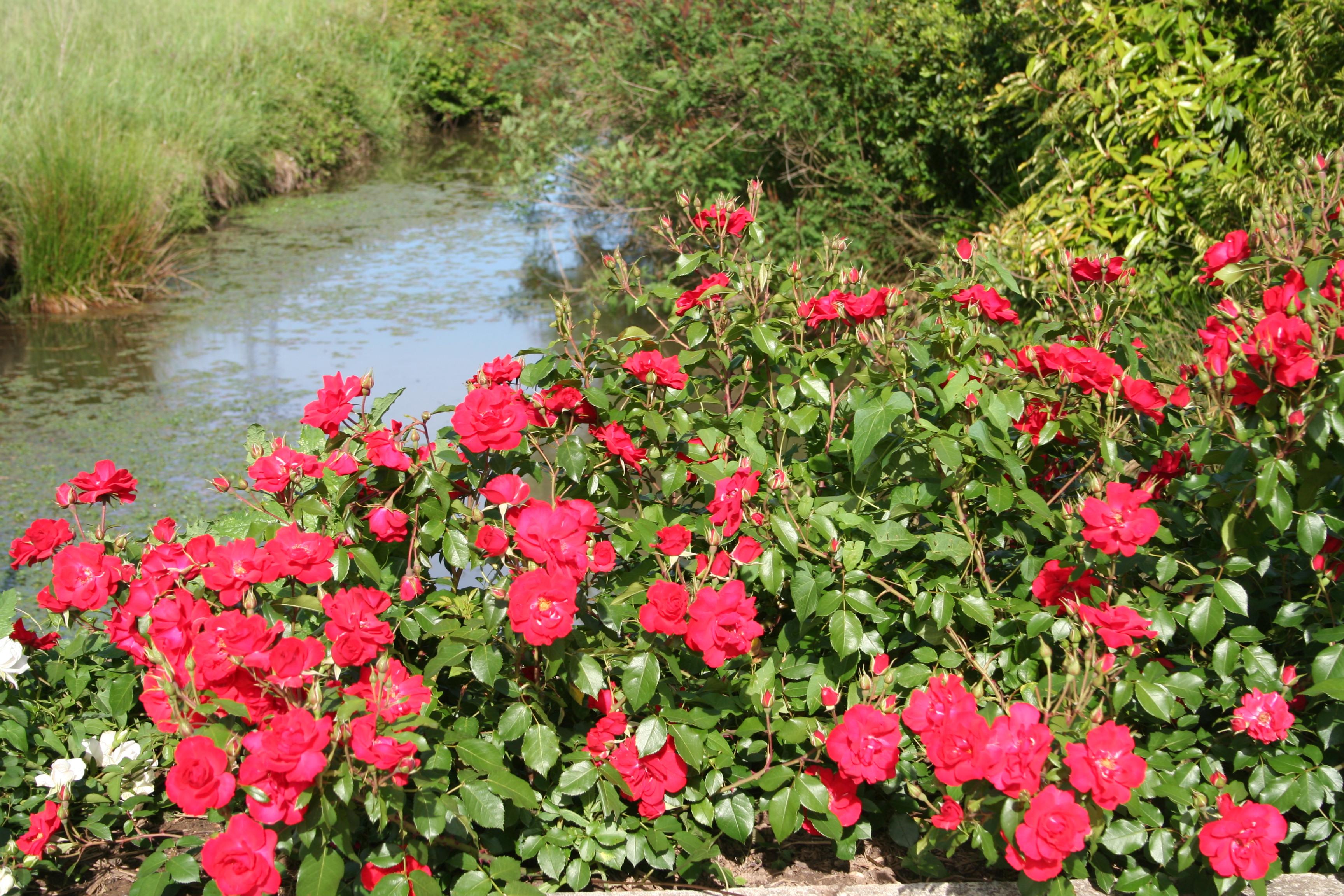 Rosiers Paysager Planter Et Cultiver Ooreka