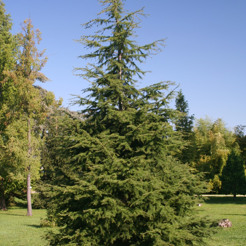 Cèdres de grande taille Cèdre du Liban (Cedrus libani)