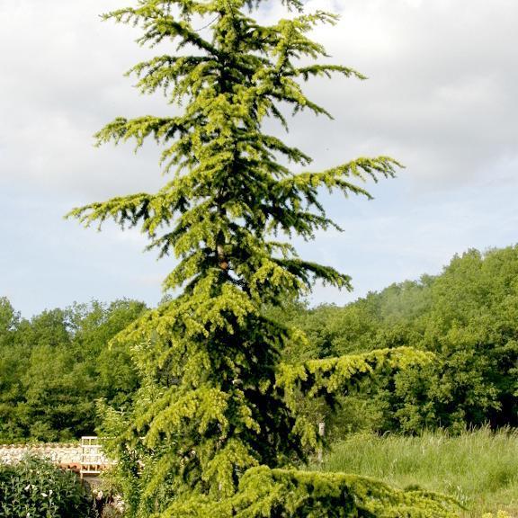 Cèdres de petite taille Cedrus atlantica 'Aurea'
