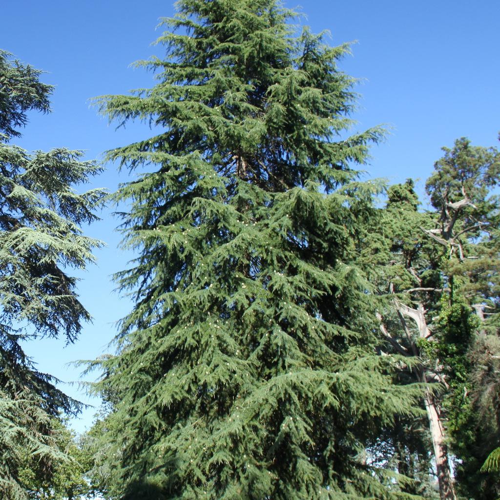 Cèdres de grande taille Cèdre vert de l'Himalaya (Cedrus doedara)
