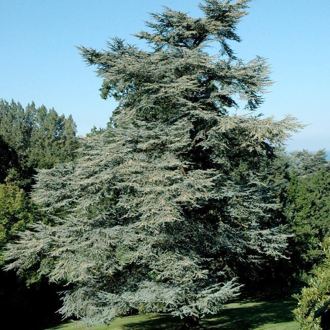 Cèdres de grande taille Cèdre vert de l'Atlas (Cedrus atlantica)