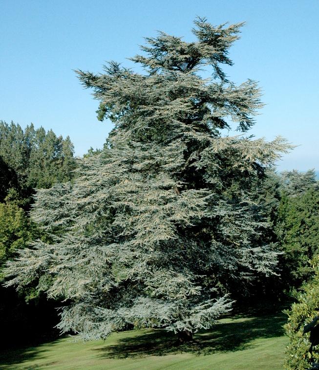 C dre planter et tailler ooreka - Cedre bleu du liban ...