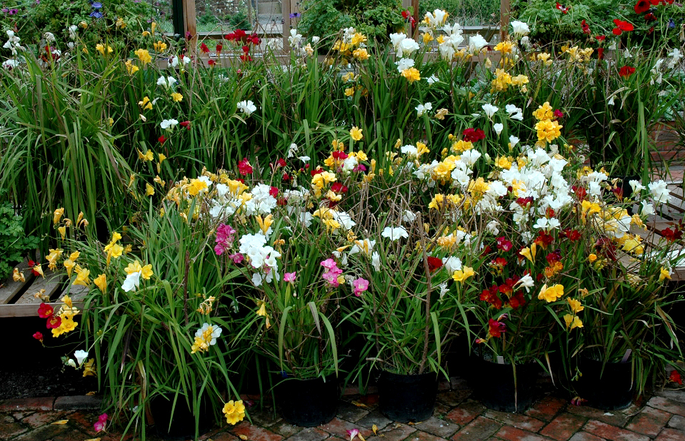 Freesia planter et cultiver ooreka for Culture des jardins