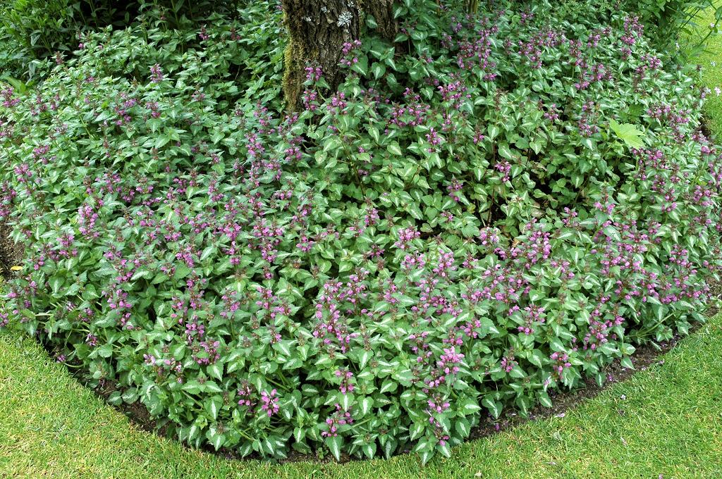 Lamier planter et cultiver ooreka for Solde plante jardin