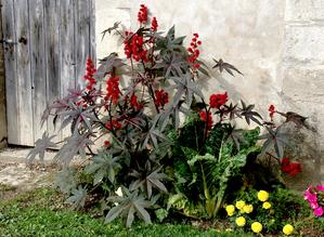 Semis et plantation du ricin