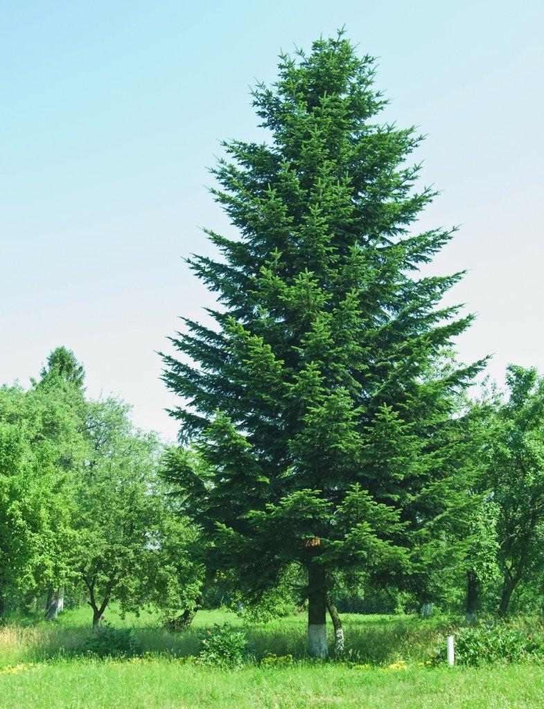 Sapin planter et tailler ooreka - Sapin artificiel haut de gamme ...