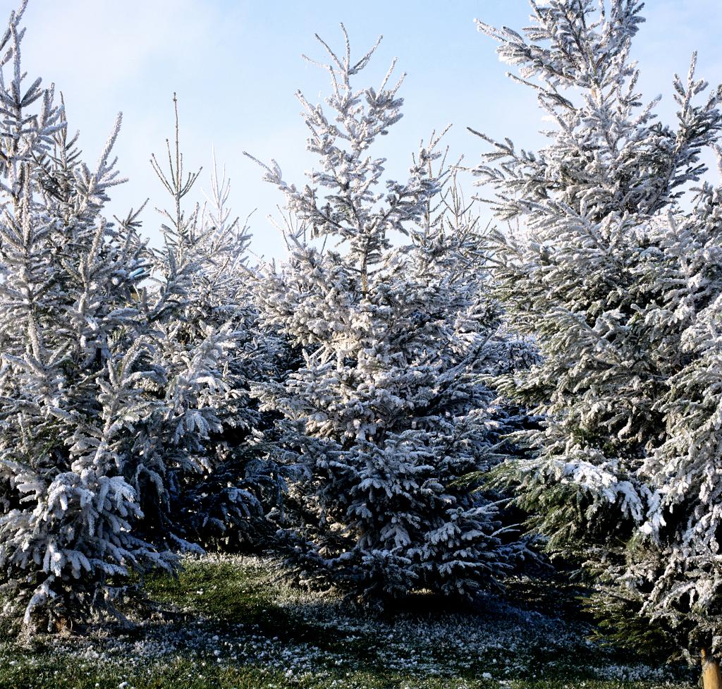 sapin : planter et tailler – ooreka